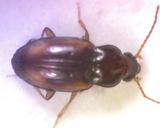 Ground beetle - Elaphropus