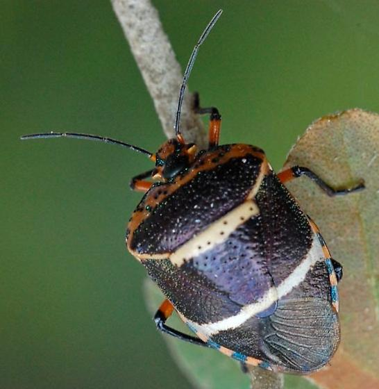 Pharypia nitidiventris