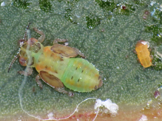 SGLP nymphs - Eucalyptolyma maideni