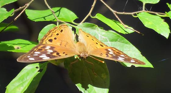 Orange, white and black butterfly - Asterocampa celtis