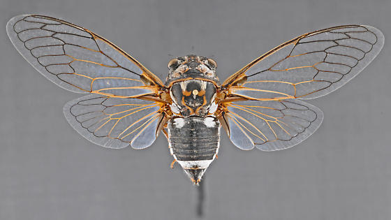 Cicada, female dorsal - Hadoa townsendii - female