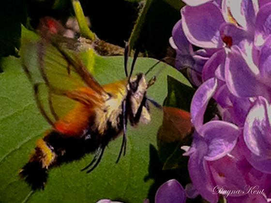 Mystery Bee - Hemaris diffinis