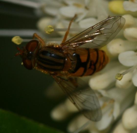 Parhelophilus sp.  - Parhelophilus