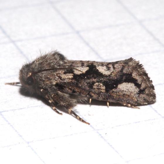 ID Request Hodges #0348 – Acrolophus davisellus - Acrolophus minor