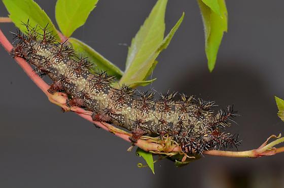 caterpillar - Hemileuca maia
