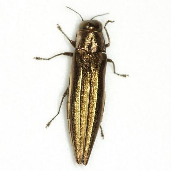 Agrilus macer LeConte - Agrilus macer