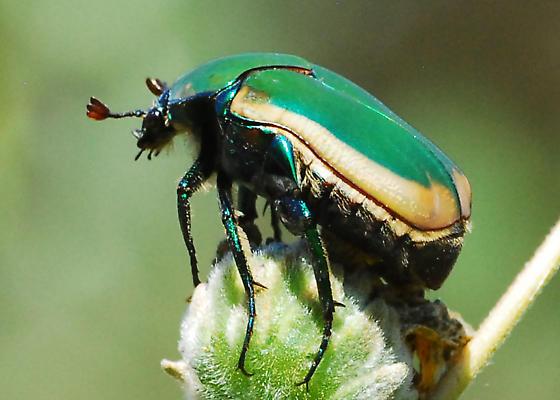 Green Fruit Beetle - Cotinis mutabilis