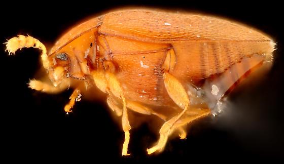 Arthrolips sp., lateral - Arthrolips