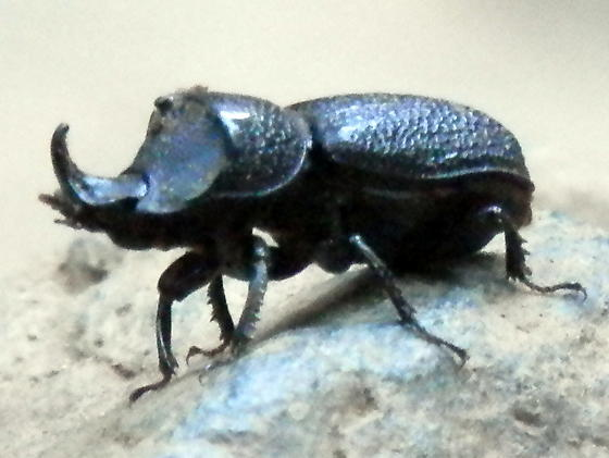 Single horned beetle