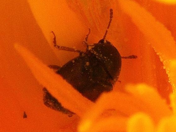 Short-winged Flower Beetles (Kateretidae) 2 - Amartus tinctus