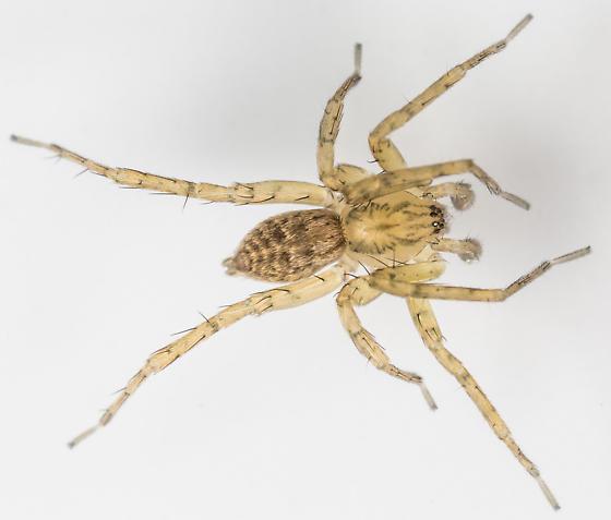 Anyphaena celer - male