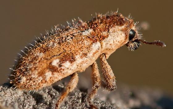 Brown Spikey Looking Beetle - Microlarinus lareynii