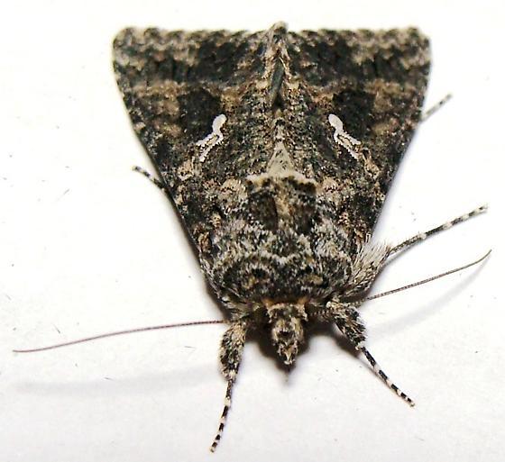 Owlet Moth - Cabbage Looper - Trichoplusia ni