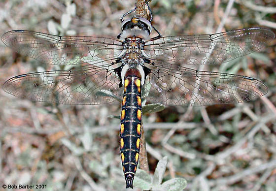 Robust Baskettail - Epitheca spinosa - male
