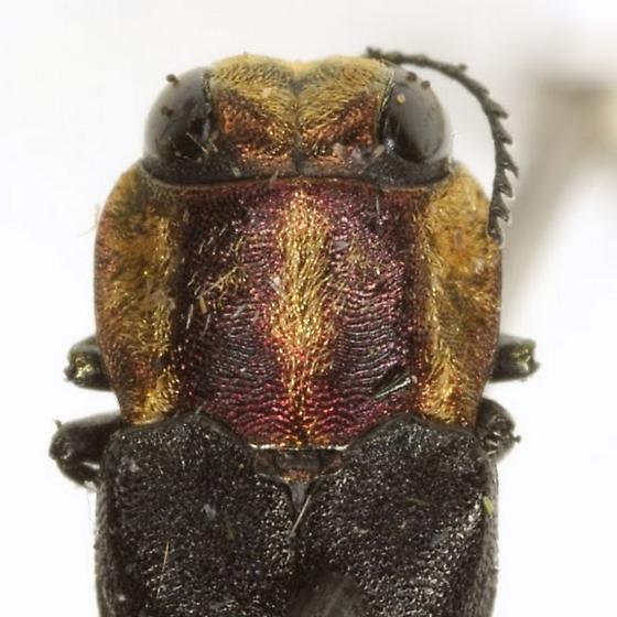 Agrilus audax Horn - Agrilus audax