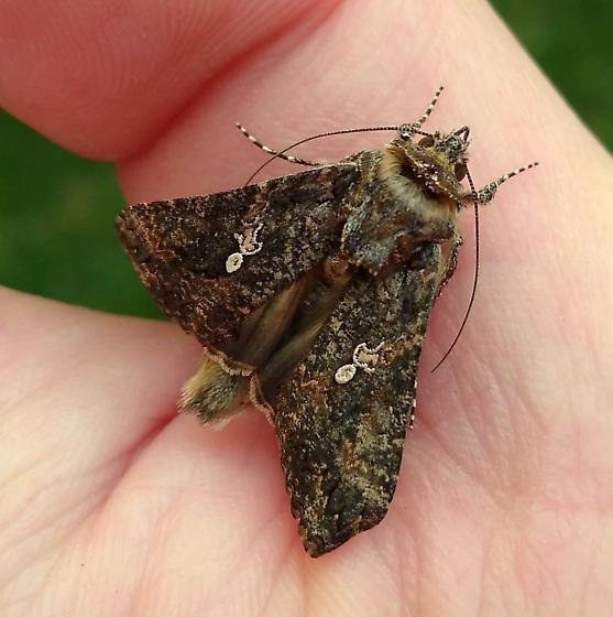 Not Helicoverpa zea? - Trichoplusia ni - BugGuide Net