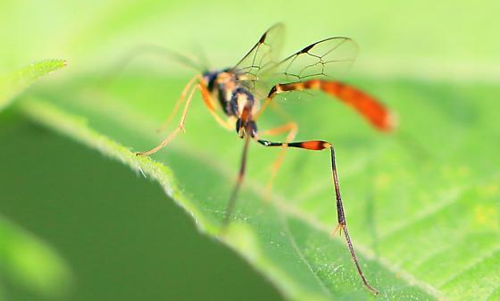 Anomaloninae? - Eiphosoma - female