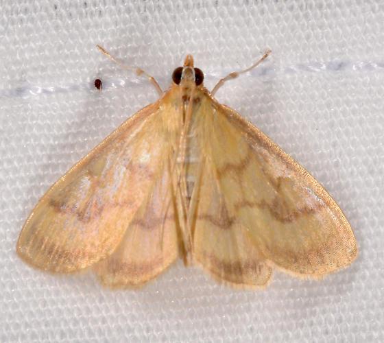 Crocidophora - Crocidophora tuberculalis
