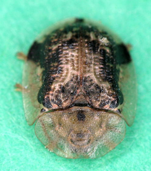 another of  these tortoise beetles - Cassida piperata
