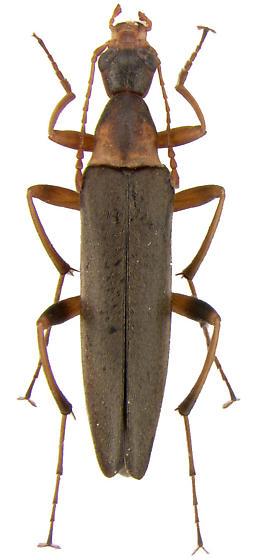Cephaloon sp. - Cephaloon lepturides