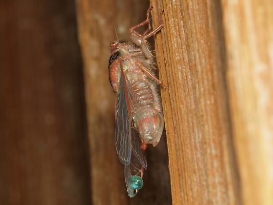 Cicada Emergence - Platypedia