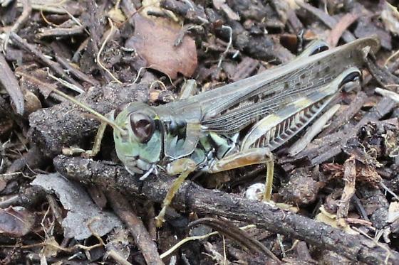 Unknown Acrididae 2 - Melanoplus sanguinipes - male
