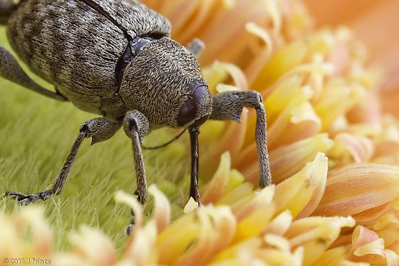 Weevil  - Curculio