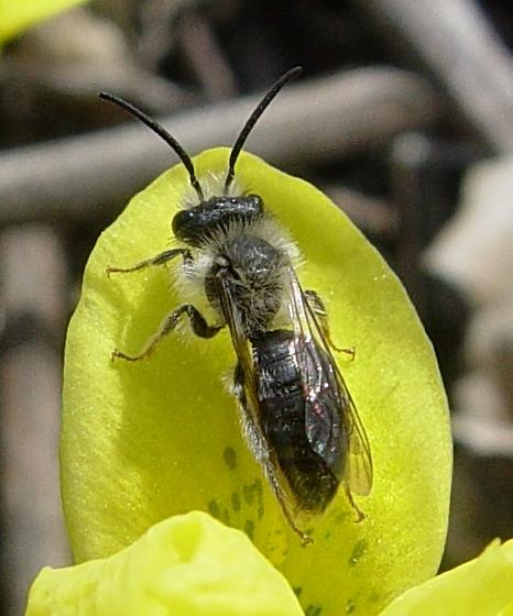 Mining bee - Andrena - male