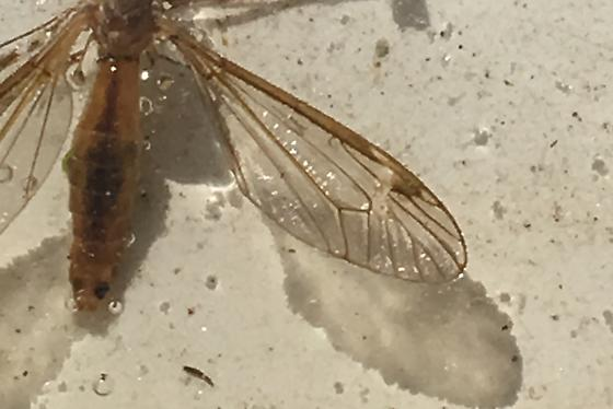 Crane Fly With Green Eyes - Tipula