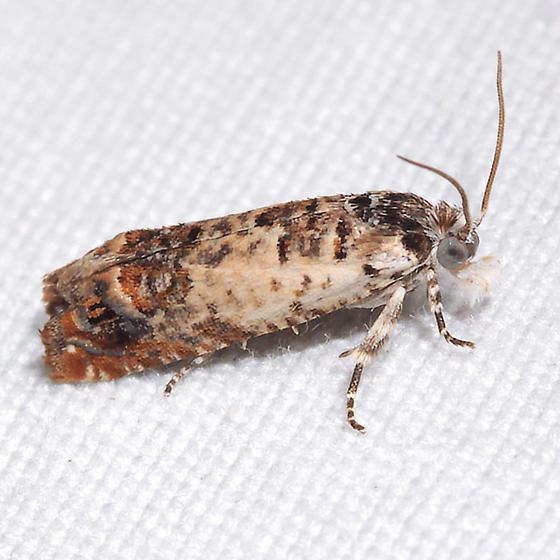 Phaneta ornatula - Eucosma ornatula
