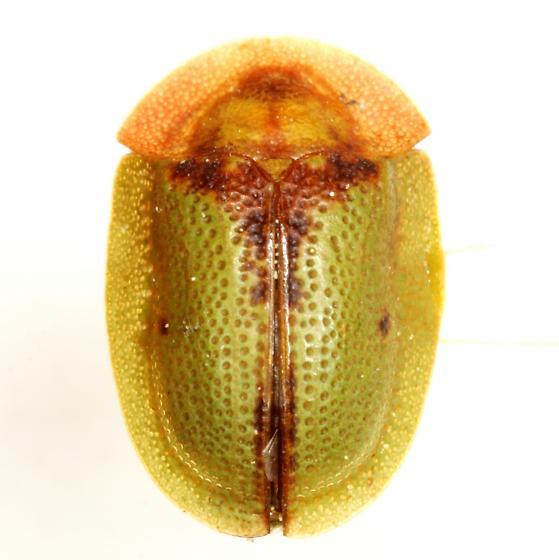 Cassida relicta Spaeth - Cassida relicta