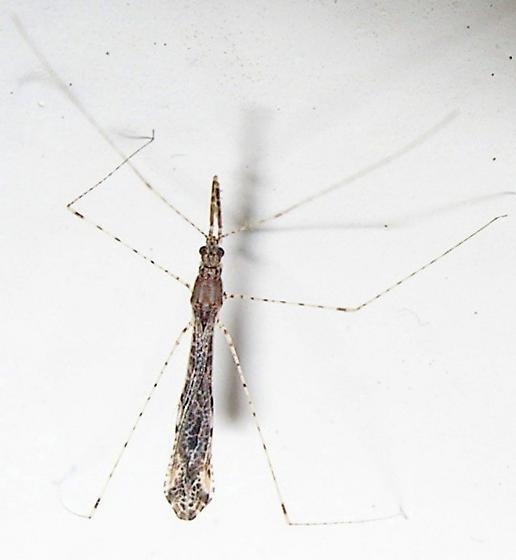 Thread-legged Bug - Empicoris rubromaculatus