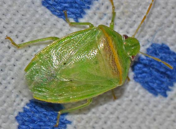 ? - Piezodorus guildinii