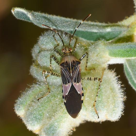related to stink bugs? - Hypselonotus punctiventris