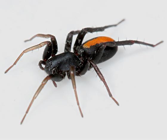 Spider - Castianeira - female