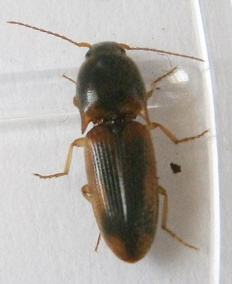 Small Click Beetle - Aeolus livens