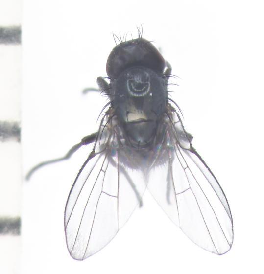 Agromyzidae, perhaps Melanagromyza, maybe M. minimoides, dorsal