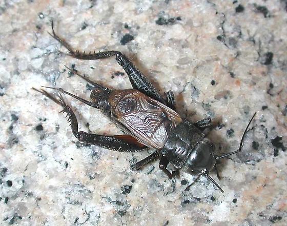 Gryllidae - Gryllus pennsylvanicus - male