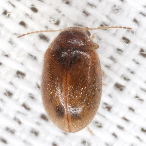Tiny Beetle - Contacyphon