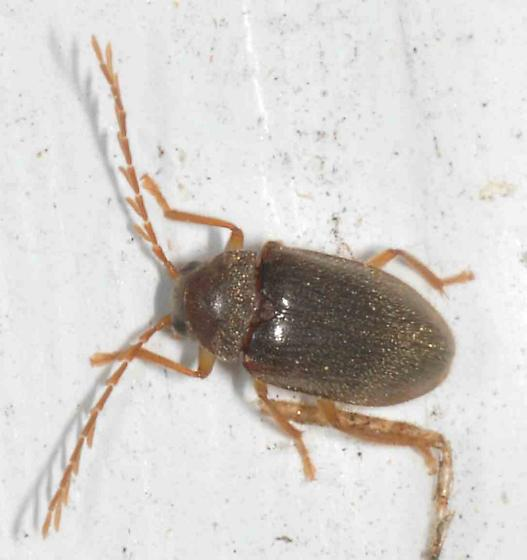 Unknown larger beetle-type - Ptilodactyla