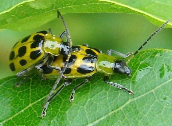 Mating Spotted Cucumber Beetles - Diabrotica undecimpunctata - male - female