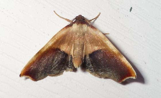 Plagodis kuetzingi - male