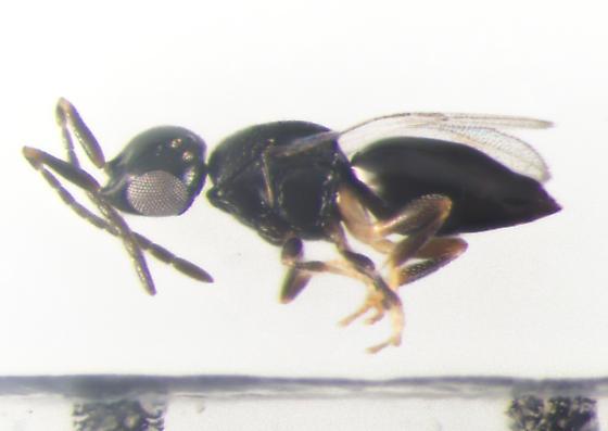Ceraphronidae, lateral - female