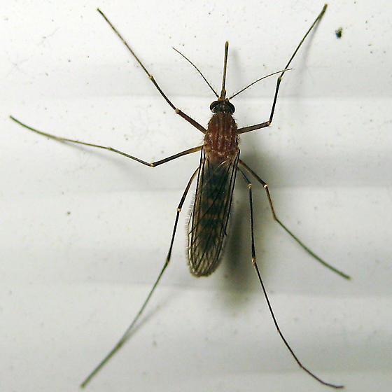 Northern House Mosquito - Culex pipiens - female