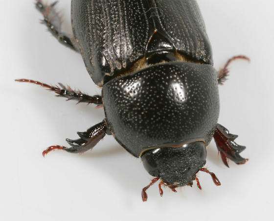 Sugarcane Beetle - Euetheola rugiceps