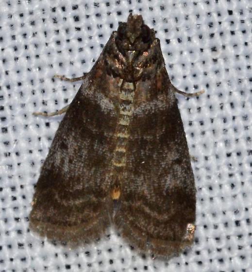 Sciota uvinella – Sweetgum Leafroller Moth - Sciota uvinella