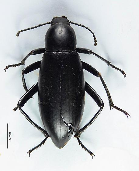 Another Eleodes? - Eleodes longicollis