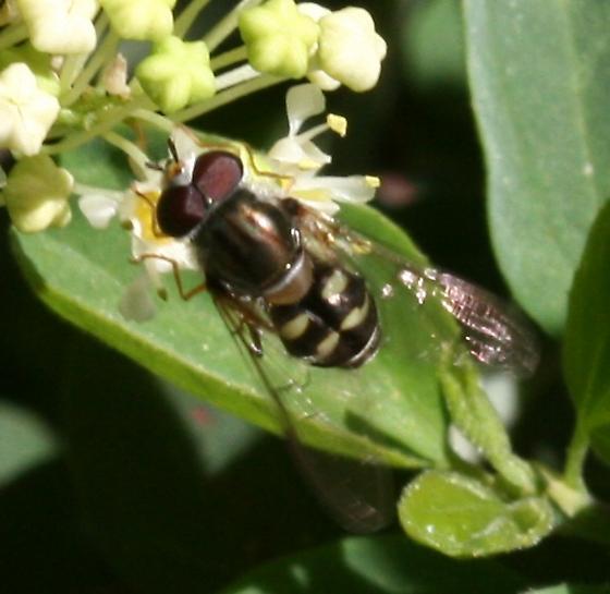 Dasysyrphus sp.? - Dasysyrphus creper - male