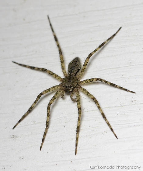 Spider on the fence at night. - Dolomedes albineus