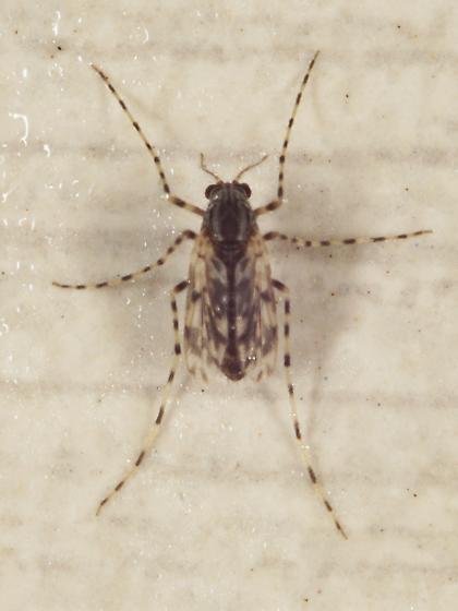 Ablabesmyia sp.? - Ablabesmyia
